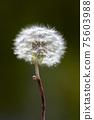 민들레 꽃, 서양민들레 75603988