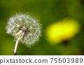 민들레 꽃, 서양민들레 75603989