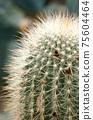 다육식물, 선인장, 75604464
