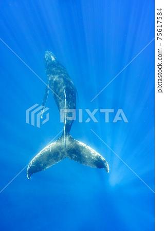 駝背鯨 75617584