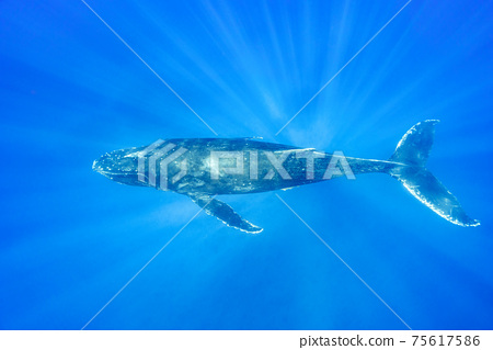 駝背鯨 75617586