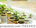 Different vegetable seedlings growing at the window 75633432