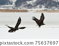 Winter snowy eagle 75637697