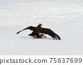 Winter snowy eagle 75637699