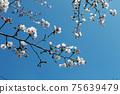 벚꽃과 함께 봄이 찾아왔다 75639479
