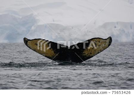 座頭鯨在南大洋 75653426