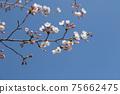 벚꽃이 피기 시작한  봄 하늘 75662475