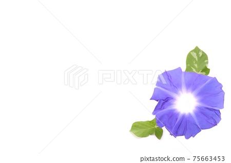 背景材料藍色牽牛花白色背景 75663453