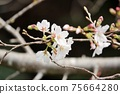 櫻桃樹 75664280