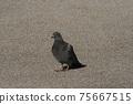 鴿子 75667515