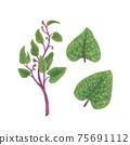 馬拉巴爾菠菜,印度菠菜手繪插圖 75691112