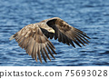 Close up of a White-tailed sea Eagle in flight 75693028