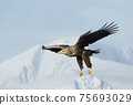 Close up of a White-tailed sea Eagle in flight in winter 75693029