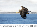 Close up of a White-tailed sea Eagle in flight 75693030