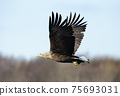 Close up of a White-tailed sea Eagle in flight 75693031