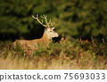 Close-up of a red deer stag in autumn 75693033