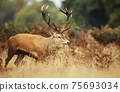 Red deer stag calling during rutting season in autumn 75693034