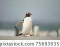 Gentoo penguin walking on a sandy beach 75693035