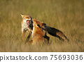 Close up of two playful Red fox cubs in the field of grass 75693036