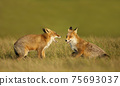 Close up of two playful Red fox cubs 75693037