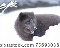 Close up of an Arctic fox in winter 75693038