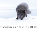 Close up of an Arctic fox in winter 75693039