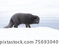 Close up of an Arctic fox walking on snow 75693040