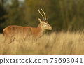 Close-up of a young red deer stag standing in a field 75693041