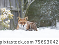 Close-up of a Red fox lying in snow 75693042
