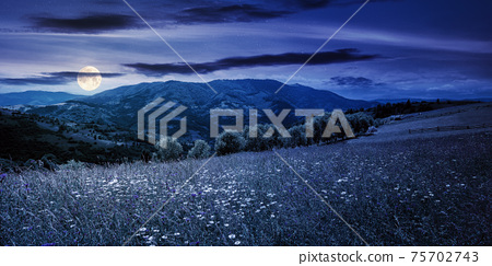 rural landscape with blooming grassy meadow at sunset. beautiful nature scenery of carpathian mountains in evening light. fluffy clouds on the blue sky 75702743