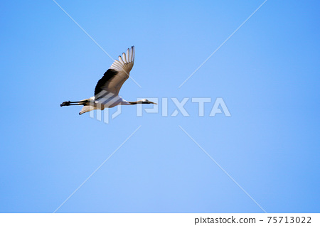 A red-crowned crane flapping its wings in the blue sky, Hokkaido 75713022