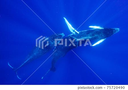 駝背鯨 75720490
