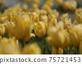 노란색 피는 봄의 튤립 밭 (전후 보케) 75721453