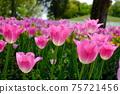 분홍색에 핀 봄의 튤립 밭 (핑크 뒤 흐림) 75721456