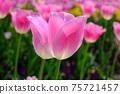 분홍색에 핀 봄 튤립의 업 (핑크 뒤 흐림) 75721457