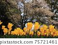 만개 한 벚꽃과 노란 피는 튤립 75721461