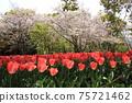 만개 한 벚꽃과 붉은 피는 튤립 75721462