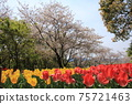 만개 한 벚꽃과 빨간색이나 노란색으로 피는 튤립 75721463