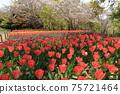 만개 한 벚꽃과 빨강, 노랑, 보라색 튤립 밭 75721464