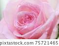 물방울이 붙어 선명하고 깨끗한 핑크 장미 1 송이 업 75721465