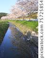 櫻花樹和河的倒影 75725854