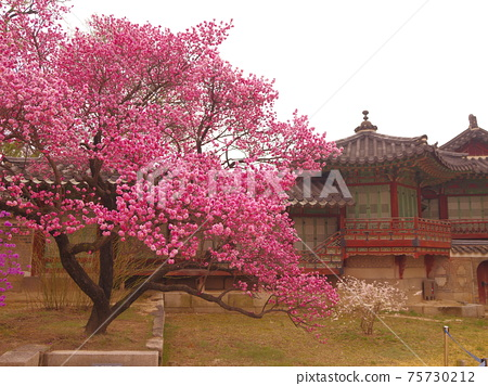 장경궁.창덕궁.홍매화.진달래꽃.소나무 75730212