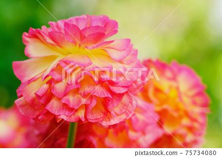 핑크 라 난큐 라스 (가로) 75734080