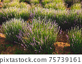 The plantation where wonderful lavender is grown 75739161