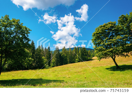 fir forest on the green grassy meadow. beautiful mountain landscape in summertime. good sunny weather with fluffy clouds on the sky at noon. carpathian countryside in mid summer 75743159