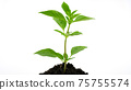 Young green plant on the soil or growing out from soil  isolated on white background 75755574