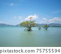 Mangrove trees in the sea at phuket island in Summer season beautiful blue sky background at Phuket Thailand 75755594