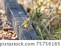 Red-flanked bluetail female perching on a wooden bridge 75756165