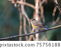 Young bird of red-flanked bluetail perching on a branch 75756188