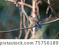 A young red-flanked bluetail bird perching on a branch with its tail lowered 75756189